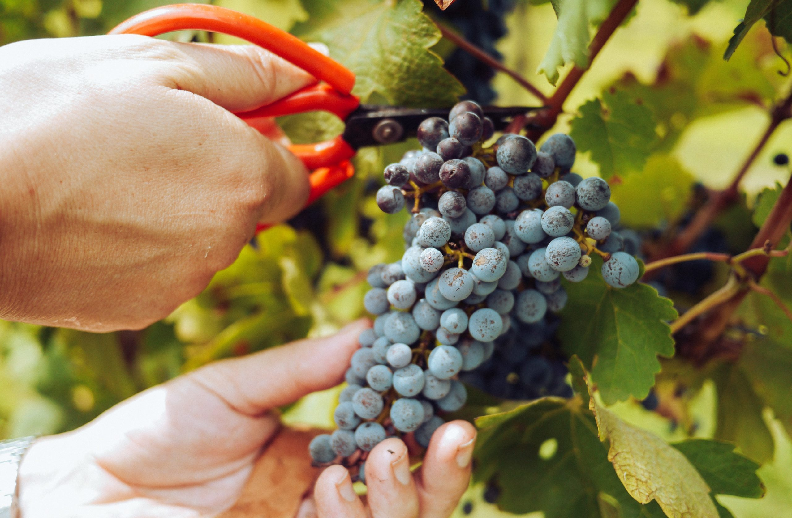 What is the grape harvest process like?